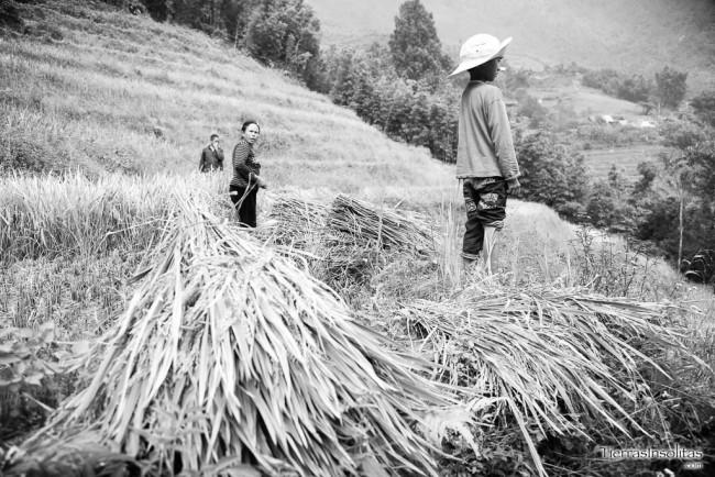 recogida del arroz en sapa