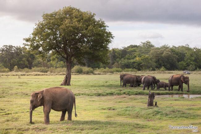 safari minneriya sri lanka