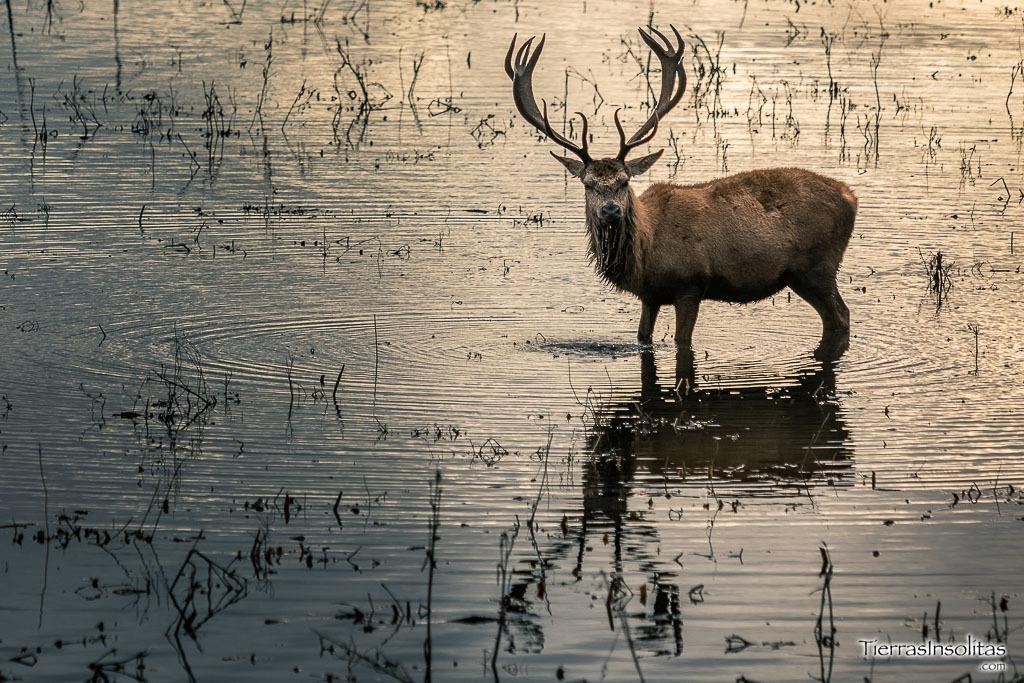 ciervo humedal salburua